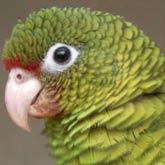 Puerto_Rican_parrot_401292s